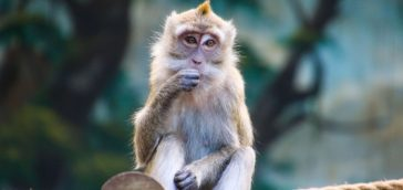 Wild Monkey Risk